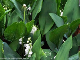Lilies of the Valley.