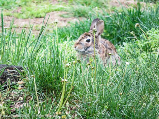We haven't been able to cut the grass due to the rain. The bunny doesn't seem to mind.