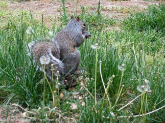 We still have more gray squirrels than black ones.
