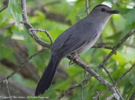 This might be a gray (Canada) jay or a gray catbird.