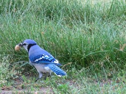 Sometimes, the blue jays fly in and steal the peanuts from the squirrels.