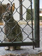 This bunny is standing outside the gate of our neighbor's yard.