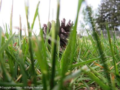 Lone pine cone.
