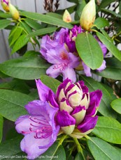 It looks like we'll have rhododendron blossoms for a while.