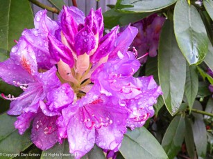 The rhododendrons are enjoying the rain, too.