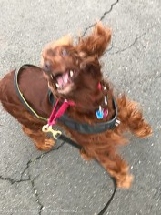 Maddie was very happy to be walking. this is what she does, she jumps up to thank me.