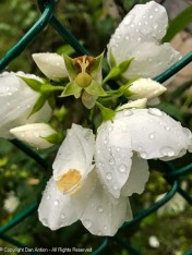 This mock orange blossom took a beating in the thunderstorms we had.