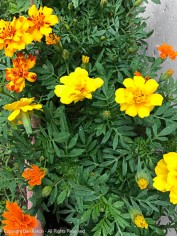 Marigolds are in bloom.