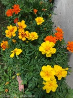 Marigolds are happy.