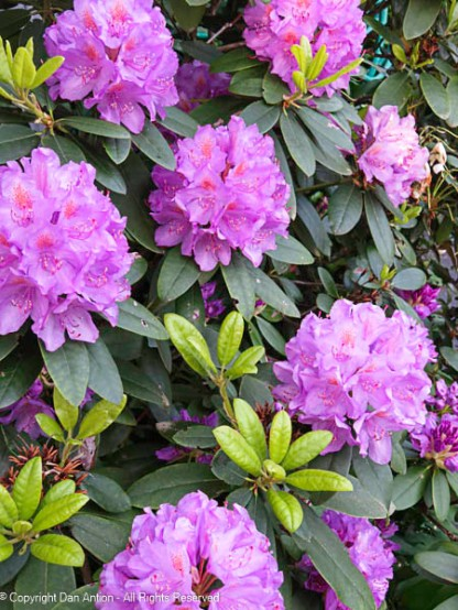 The rhododendron is in full bloom now.