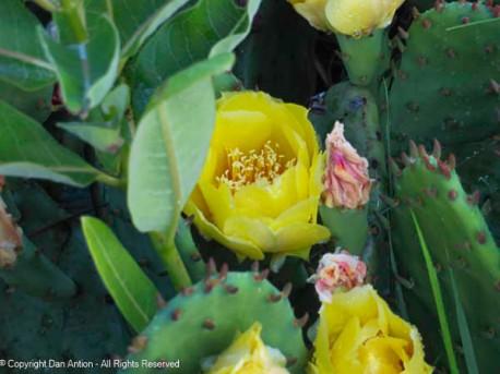 Cactus rose blossom.