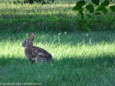 The bunny was out early for breakfast.