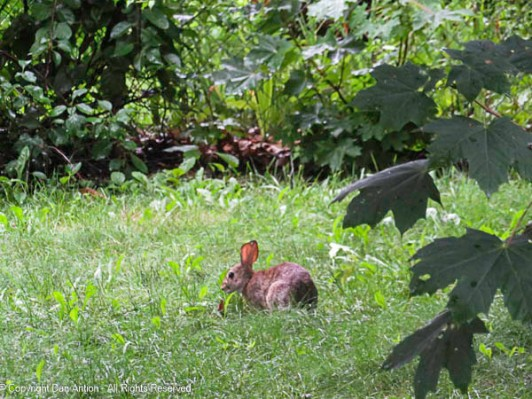 Everything is green and growing. The bunnies seem to like it.