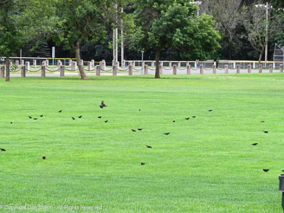 """""""Come on guys, the crows are practicing on the field."""""""