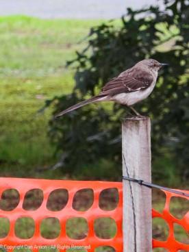 I think this is a mockingbird.