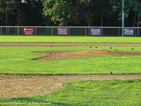 The little birds are checking out the infield conditions.