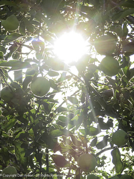 Still working the apple tree.