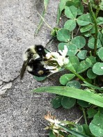Bees seem to like the clover that we've left for the bunnies.