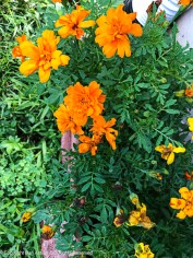 The marigolds have been beat up by three days of thunderstorms, but seem to be thriving.