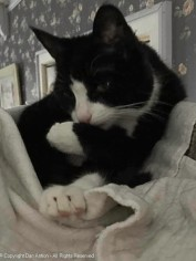 MiMi, awake and cleaning where I touched her paw.