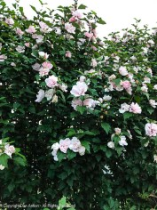 Double Rose of Sharon bushes in full bloom.