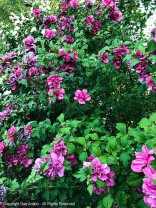 This is a color I can't identify, but these are the other double rose of sharon bushes.