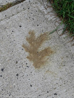 There are leaf stains all over the sidewalk. They fall and get soaked for days and leave their mark.