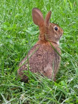 The grass isn't that high, the bunny is that small.