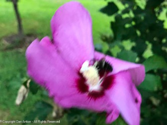 Blurry, bee and blossom