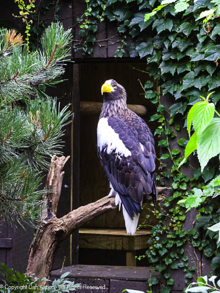One of the other rehabbed eagles.
