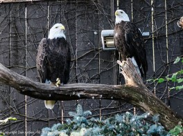The bald eagles were brought to the Aviary when they were injured.