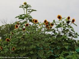 Amazing sunflowers.
