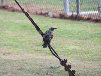 This might be our mockingbird.