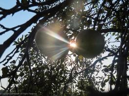 Sunshine between apples.
