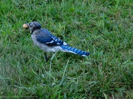 The Blue Jays fight the squirrels for peanuts.