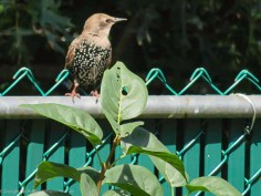 I think this is our new friend, the European Starling.