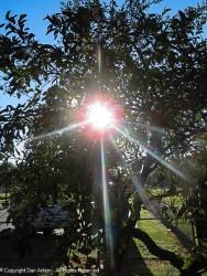 The Veterans Park apple tree