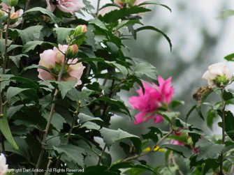 The Rose of Sharon bushes are still blooming, but slowing down.