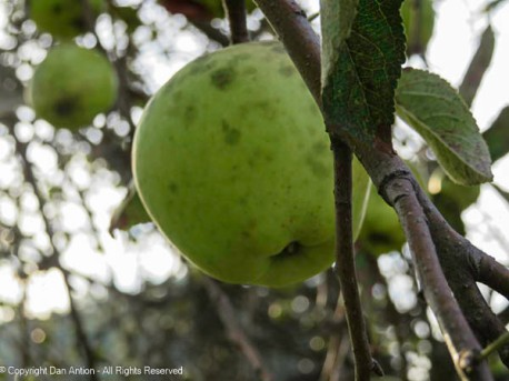 This apple was picked and sampled.