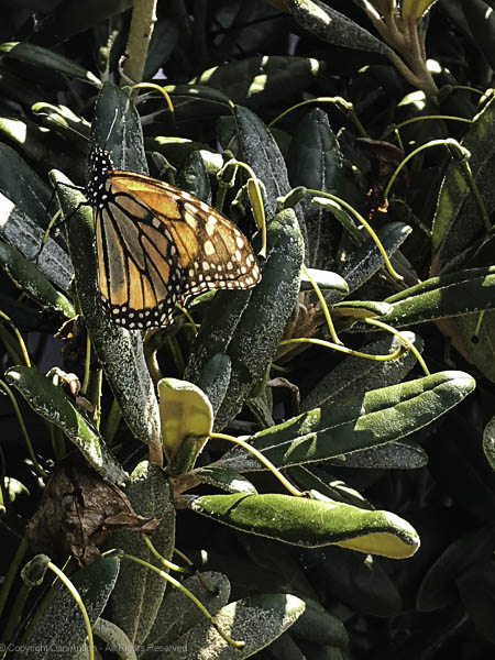 The Monarchs have been here for about a week.
