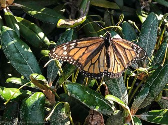I think this is a monarch.