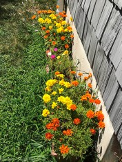 Marigolds making a second show.