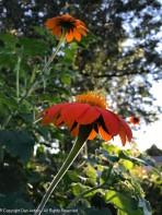 The Tithonia is enjoying the sunshine