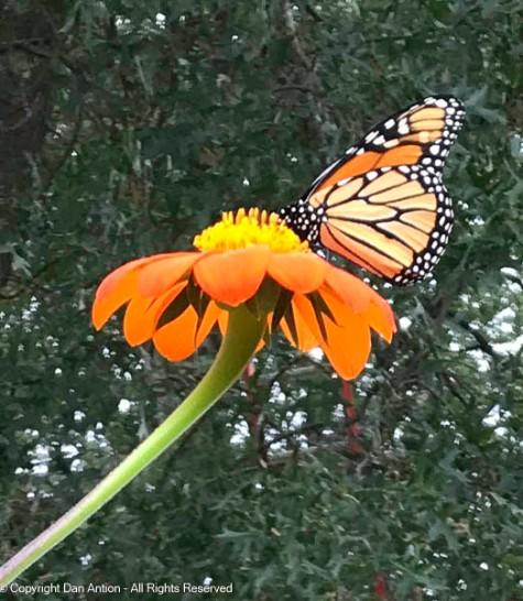 Monarchs like tithonias
