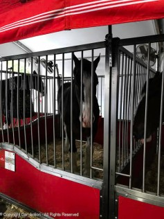 Clydesdales - beautiful animals.