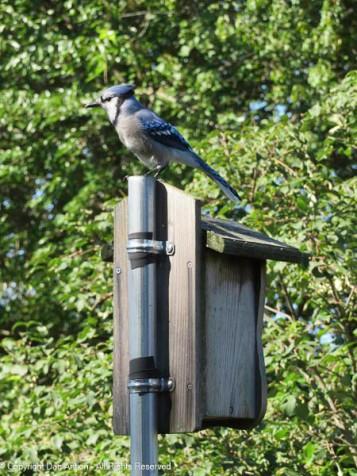 Hello Mr. Blue Jay
