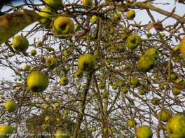Looking up into the apple tree