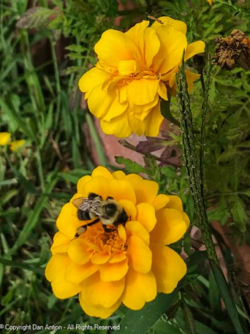The bees seem to like the Marigolds