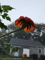 The tithonia is still blooming