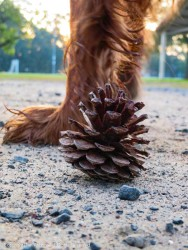 I wanted a picture of this pine cone with the rising sun behind it. I got a dog foot, and then Maddie kicked the cone about two feet away.